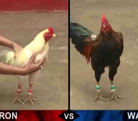 Xem đá gà trực tuyến từ Campuchia