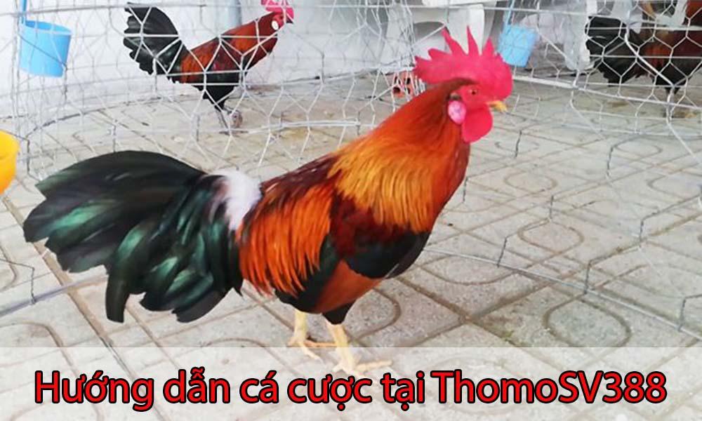 Hướng dẫn cá cược hấp dẫn tại ThomoSV388
